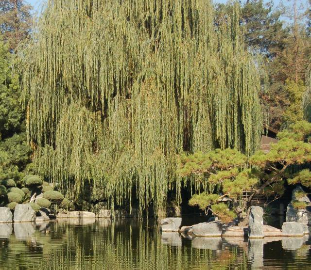 Weeping Willow, дерево, озеро