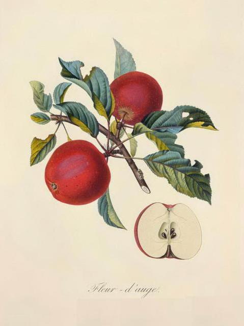 Серия ботаника-яблоко