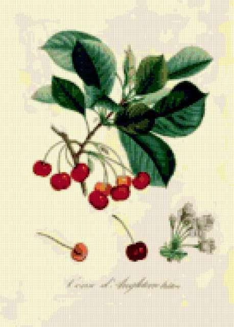 Серия ботаника-черешня