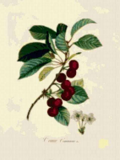 Серия ботаника-вишня