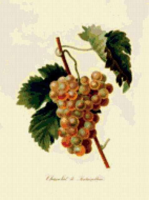 Серия ботаника-белый виноград,