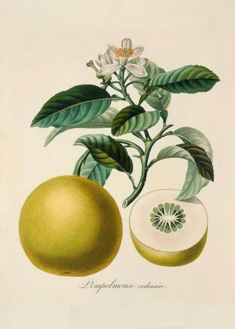 Серия ботаника-померанец