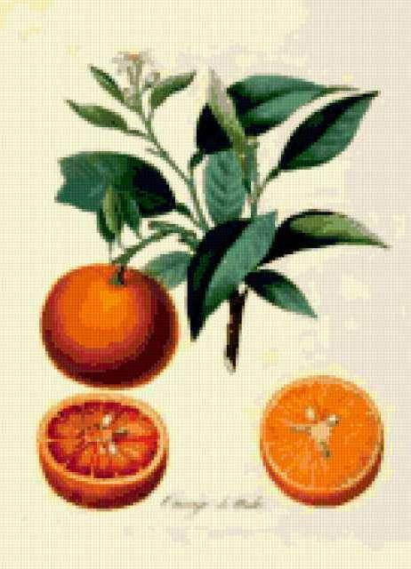 Серия ботаника-апельсин