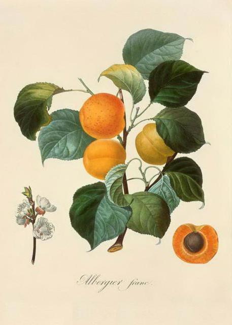 Серия ботаника-персик
