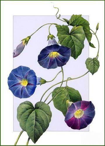 Вьюнок синий, цветы, букет