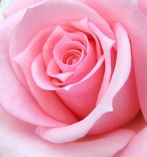 Розовые позды крупный план фото 16 фотография
