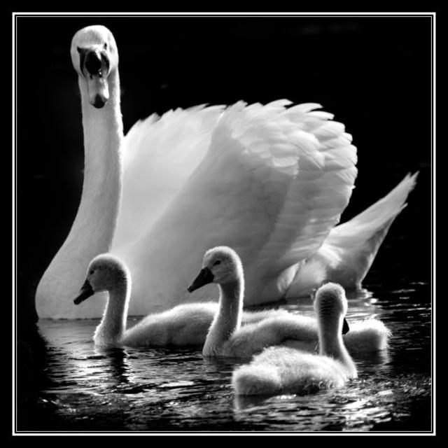 лебедь, птицы, черно-белый