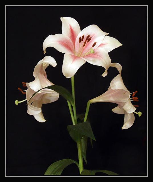 Белые лилии на чёрном фоне,