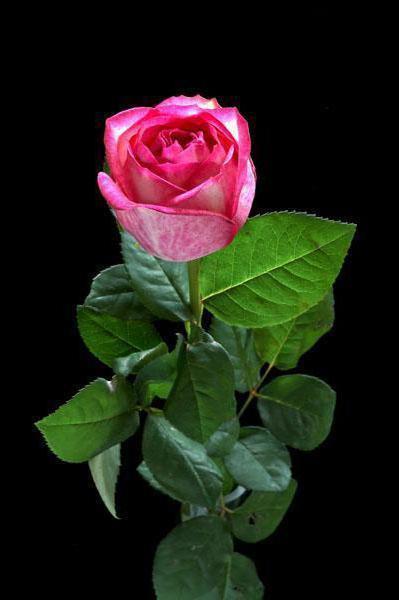 картинки роза на черном фоне