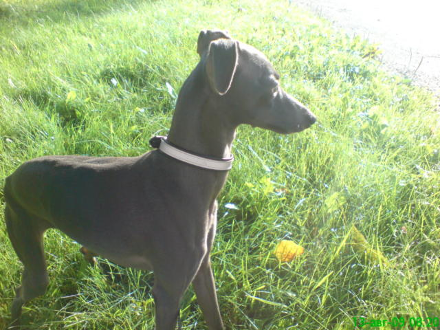 �������� ( ItalianGreyHound ), ����, ������