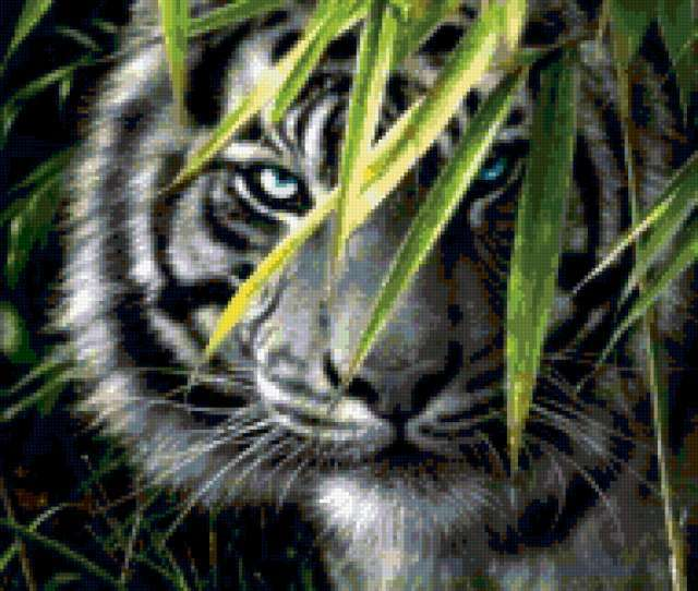 Тигр голубоглазый, тигр