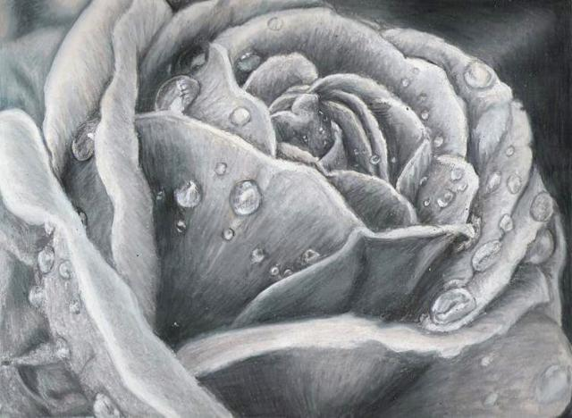 Роза в росе, роза, цветы,
