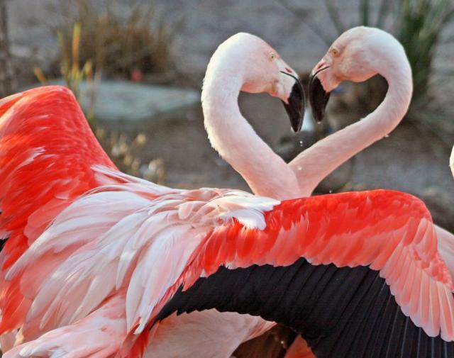 Влюбленные фламинго, оригинал