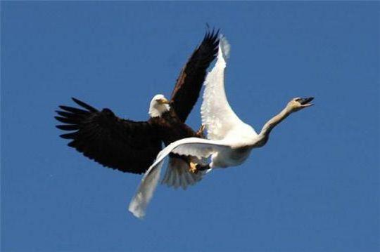 Лебедь и орел, оригинал