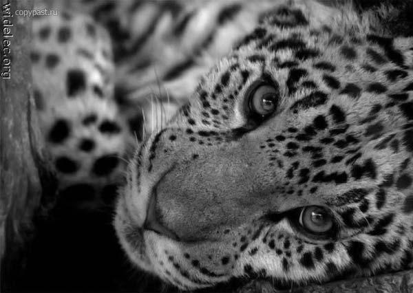 Леопард, дикие кошки, животные