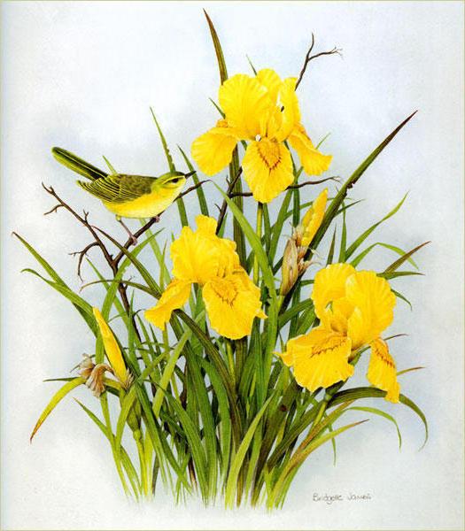 Ирисы, цветок, ирис
