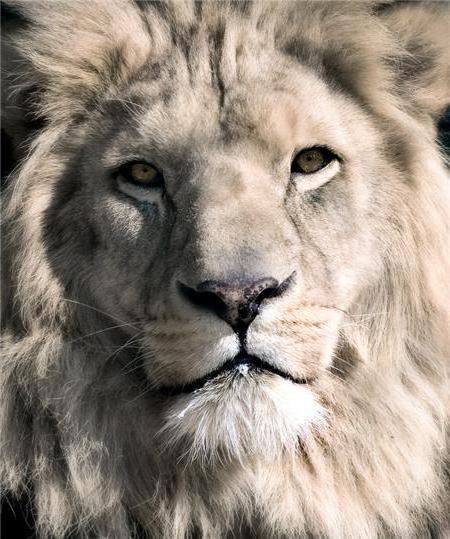 Лев, лев.львица.животные,