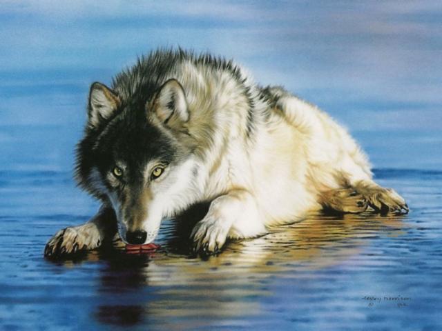 Волк, волк, волчица