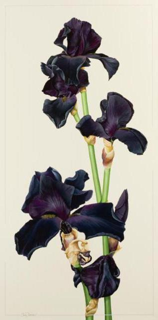 "Iris ""Black Night"", цветы"
