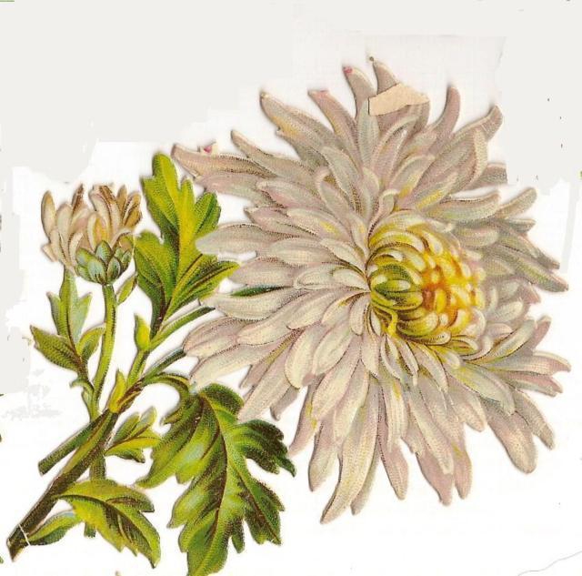 Хризантема белая, оригинал