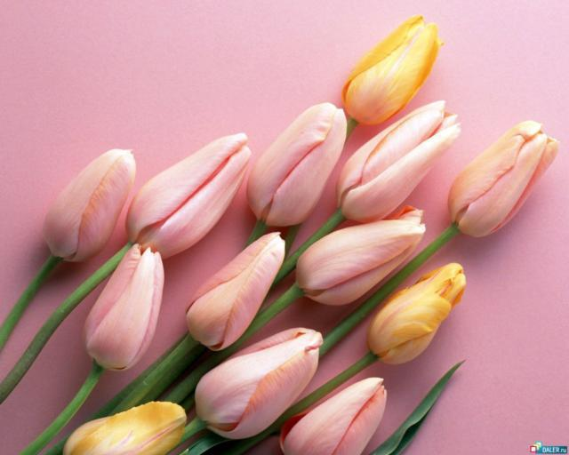 Pink Tulips, �����, �����, �������, ��������