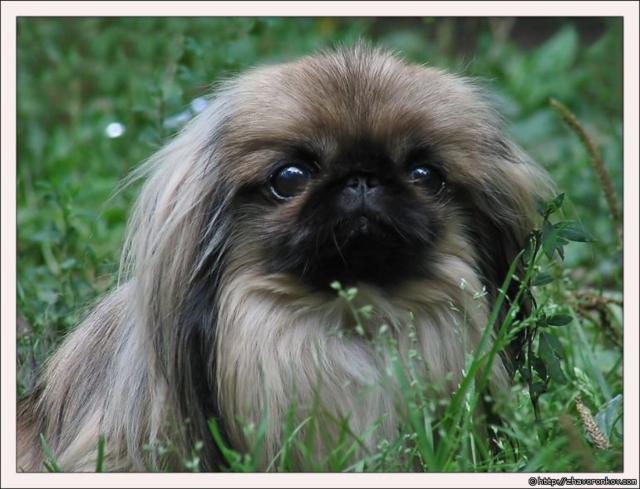 Пекинес, животные, собака
