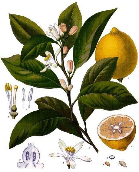 Лимон, оригинал