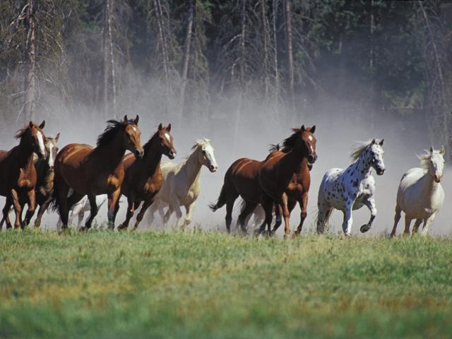 Лошади..бегущий табун.