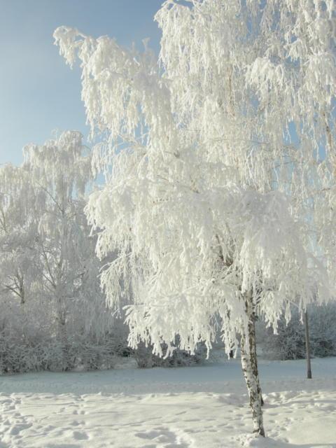 Белая береза..., природа, зима
