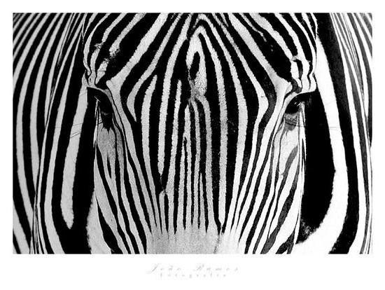 Портрет зебры, зебра, подушка,