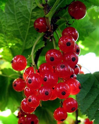 Смородинка, ягоды, смородина