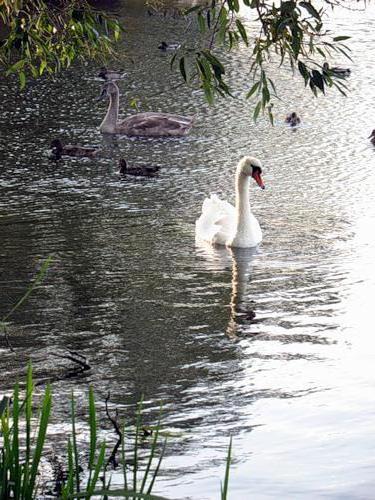 Лебединое озеро, оригинал