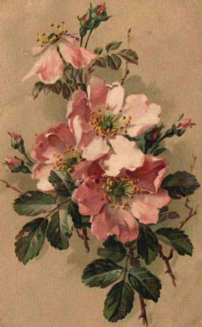 Розовый шиповник, оригинал