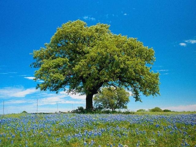 Дерево на лугу, дерево