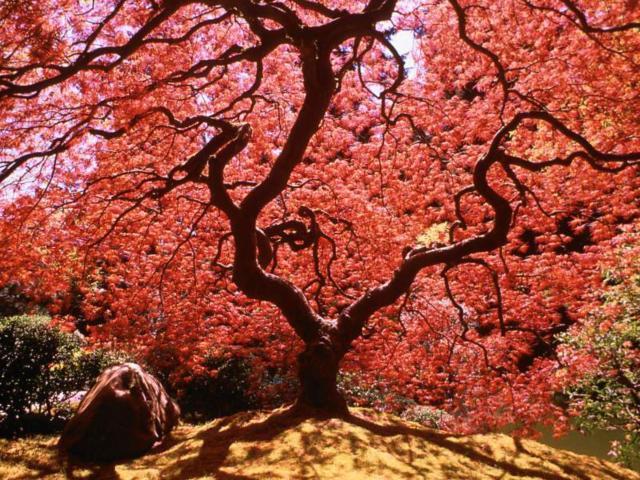 Цветущая сакура, оригинал