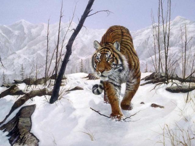 Уссурийский тигр, тигр, хищник