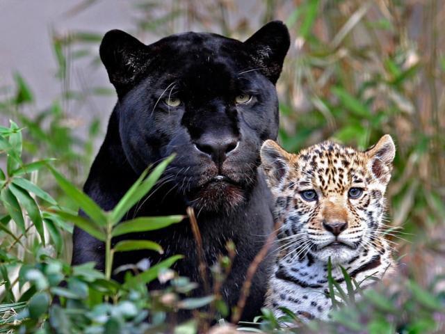 Пантера и леопард, животные,
