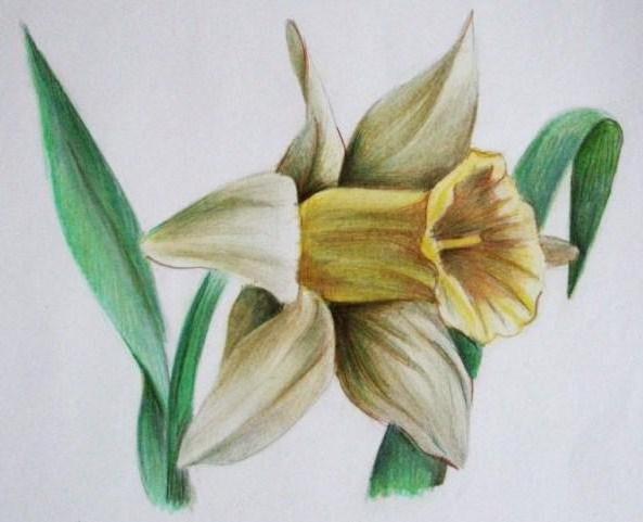 Нарцис, цветы