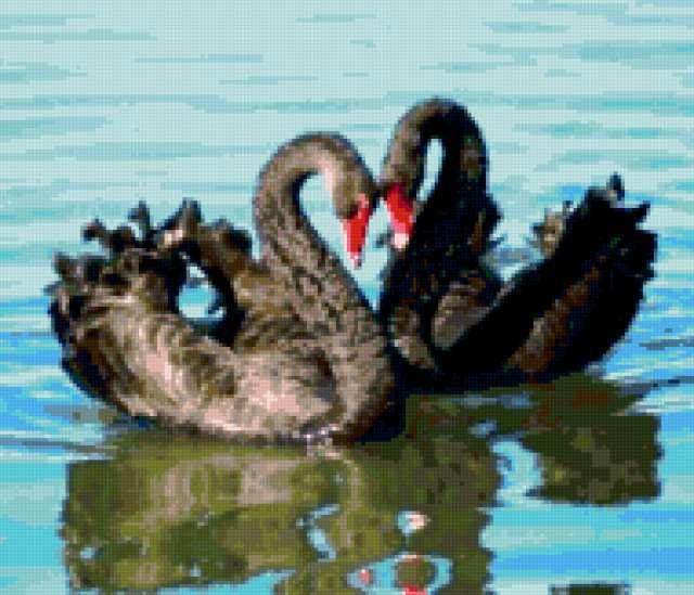 Черные лебеди (пара)