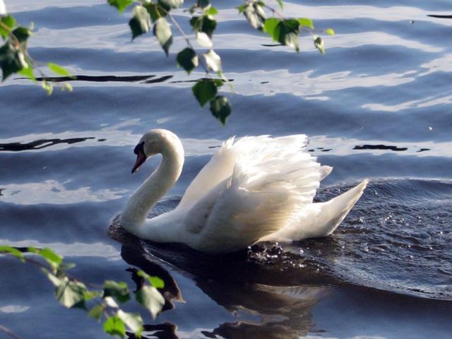 А белый лебедь на пруду...,