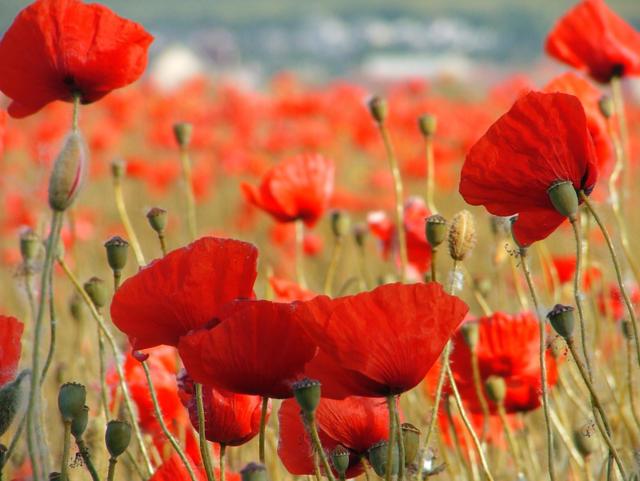 Маки, маки, поле, цветы