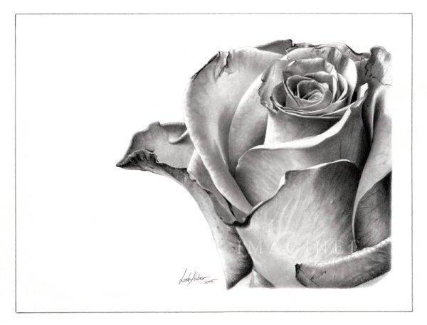 Роза, роза, цветы, графика