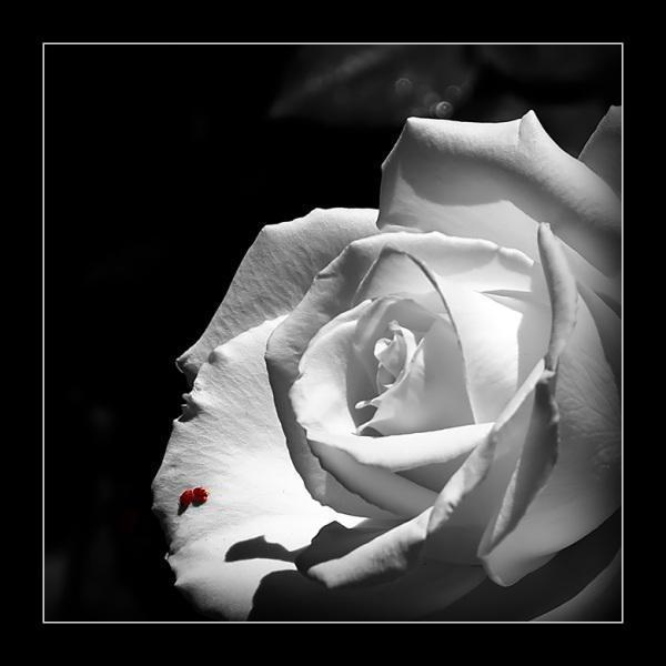 Черная роза 3, оригинал
