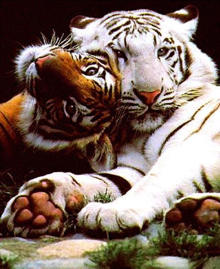 Белый тигр, тигр, животные,