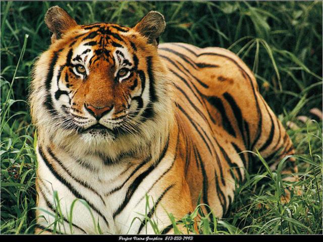 Тигр в траве, оригинал
