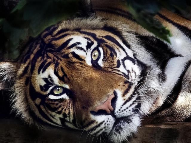 Шикарный тигр, оригинал