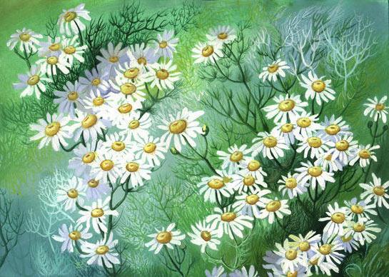 Ромашковое поле, пейзаж, цветы