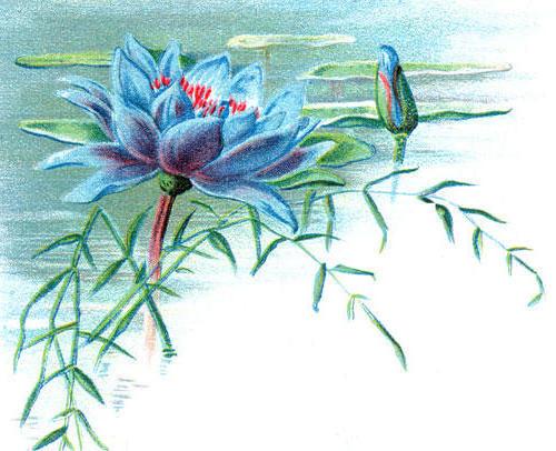 77 голубой лотос, цветок,