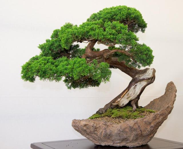 Бансай, бансай, дерево