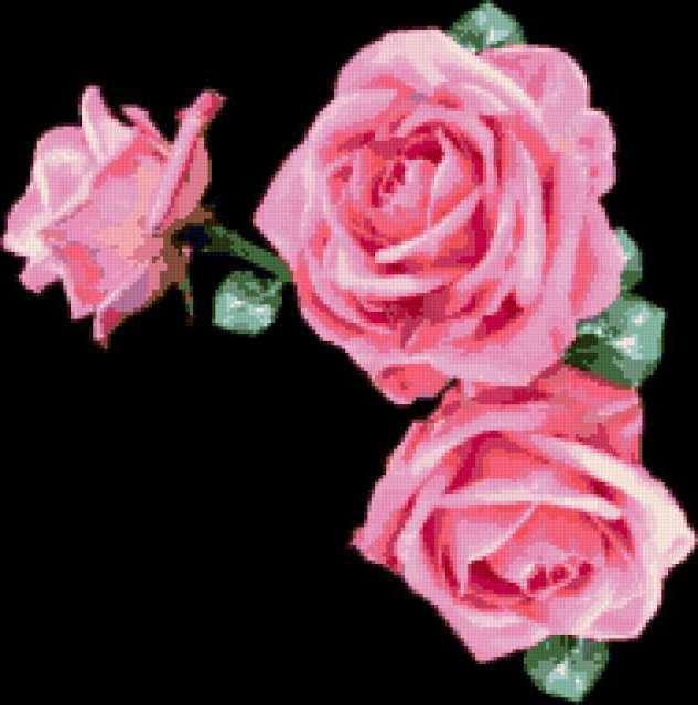 Розовые розы на черном фоне,